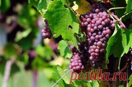 """Как правильно подготовить виноград в августе — основные процедуры   Журнал """"JK"""" Джей Кей Август — месяц, когда виноград начинает давать первые плоды. Чтобы увеличить урожайность растения и качество плодов, проводят несколько обязательных мероприятий."""