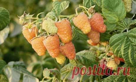 Ремонтантная малины Оранжевое чудо: описание сорта, посадка и уход