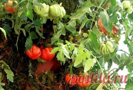 Огурцы и помидоры дома
