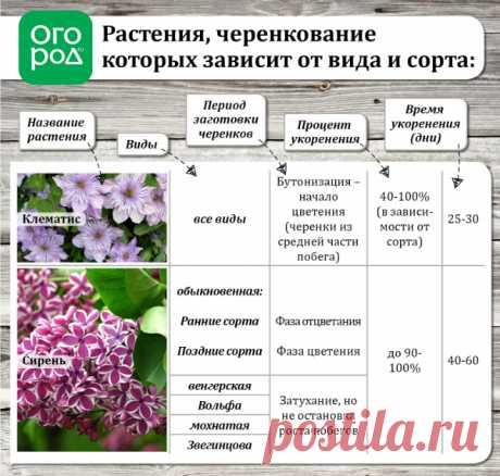 Летнее размножение декоративных растений зелеными черенками | Прочие многолетники (Огород.ru)