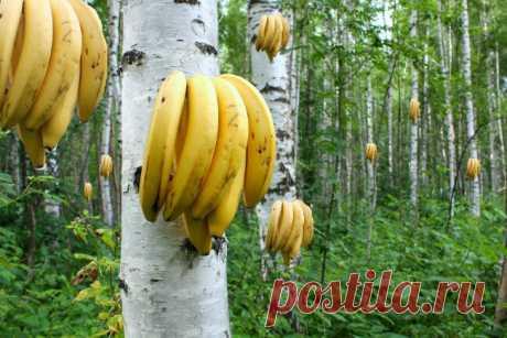Бананы уже не будут прежними: Что не так с этой ягодой? | Научпоп. Наука для всех | Яндекс Дзен