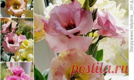 Выращивание эустомы из семян: посев, подкормки, уход, цветение. Фотографии