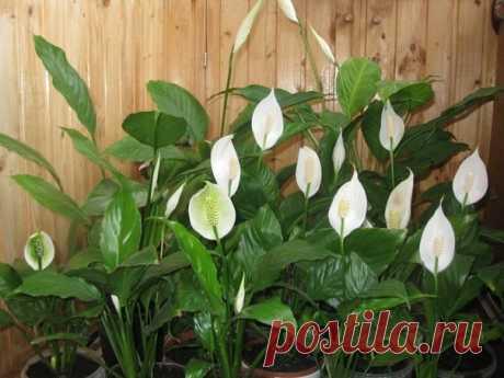 Как правильно ухаживать, чтобы заставить цвести спатифиллум