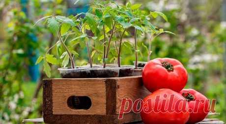 КОГДА сажать (сеять) ПОМИДОРЫ на рассаду в 2020 году по Лунному календарю. Посадка томатов на рассаду в домашних условиях