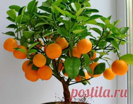 Уход за мандарином в домашних условиях • zapiski-agronoma.ru
