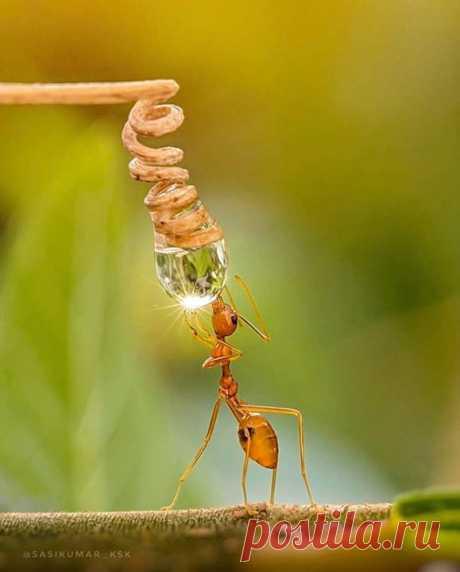 Муравей пьет воду из росинки ☀️