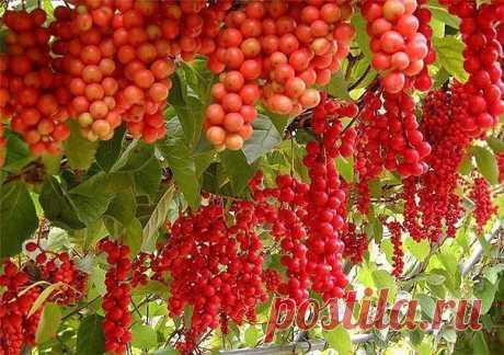 ЛИМОННИК — плод с пятью вкусами!!! | 6 соток