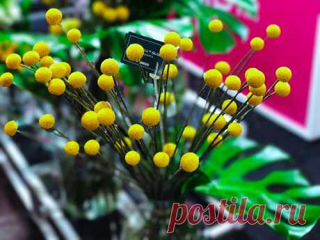 Краспедия - необычное растениеродом из Австралии и Новой Зеландии.