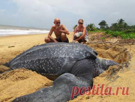 Представите себе человека, который положил на пляже планеты Земля эту черепаху и получится ВЕЛИКАН...
