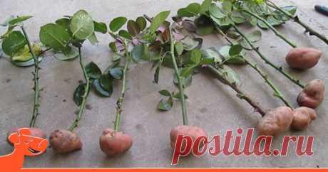 Она воткнула розу в картошку… То, что произошло через два месяца, ее просто поразило!