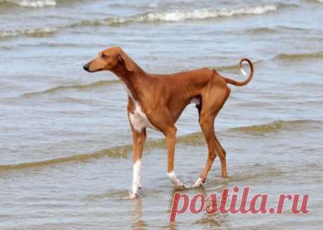 Необычные породы собак, выведенные для особенных работ   PetTips