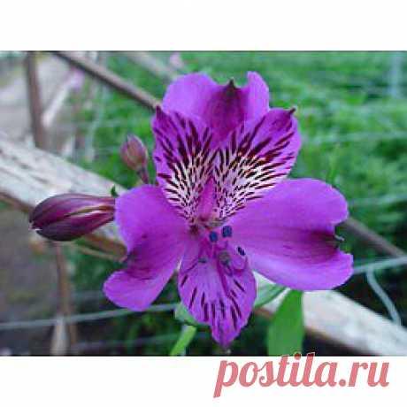Agropoli - Альстрёмерия - Цветы тропические