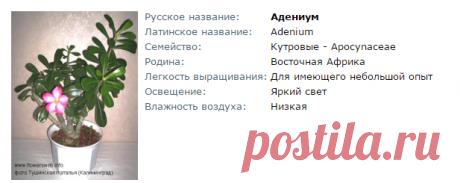 Адениум - Все о комнатных растениях на flowersweb.info