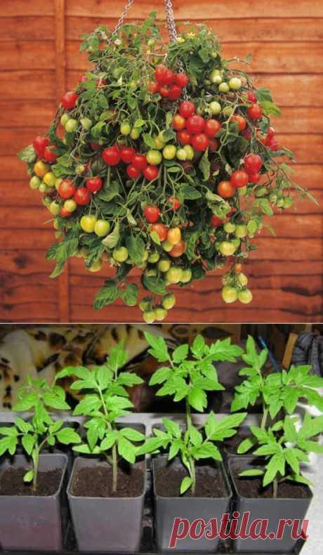 Помидоры на балконе:  балконного чуда - комнатных растений