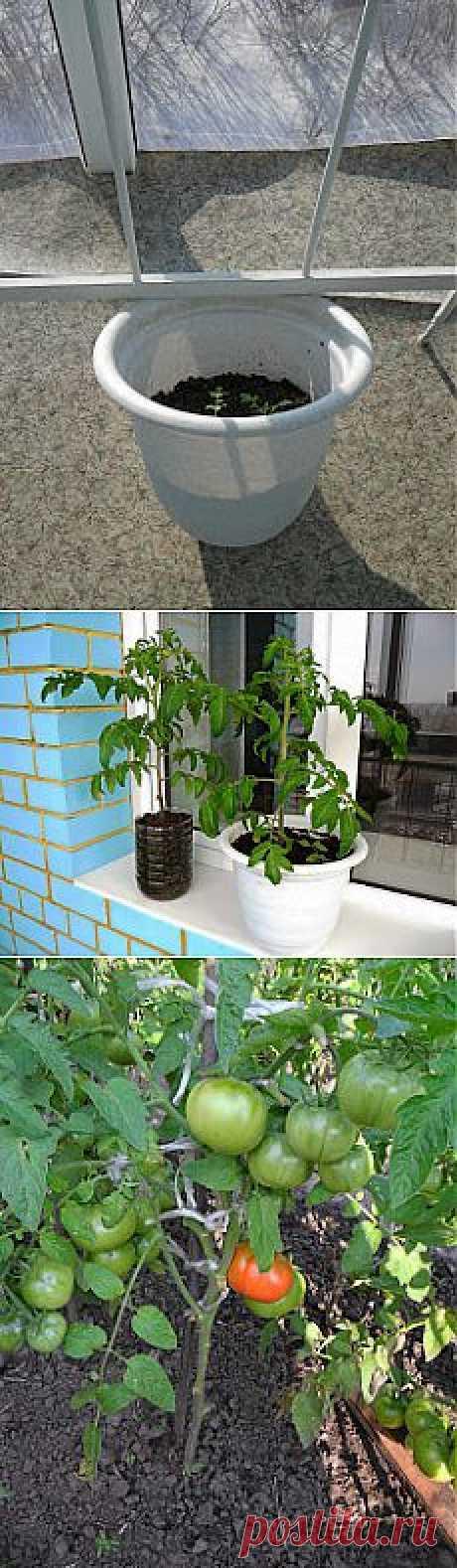 Вкусные помидоры: Ранние помидоры. Опыт выращивания.