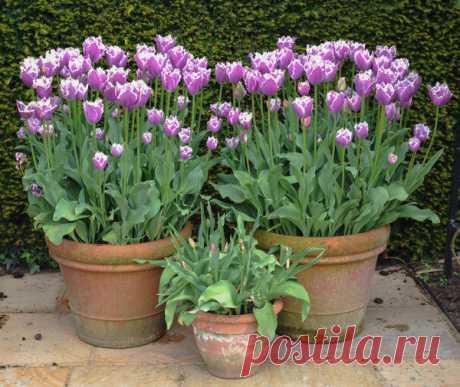 Посадка тюльпанов осенью в ведра. Видео