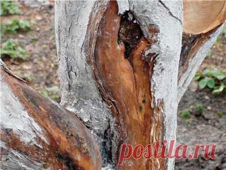 Отслаивание коры на деревьях, в чем причина, способы борьбы - описание, размножение, уход, посадка, фото, применение в саду, сорта и виды Зимние холода могут нанести большой вред декоративным, плодовым и ягодным культурам. Но не нужно забывать, что летняя жара, осенние заморозки и весенние оттепели не менее опасны для растений. Особенно вредна для растений резкая смена температур — от нагревания к охлаждению и наоборот. Очень часто на деревьях образуются морозобойные трещи...