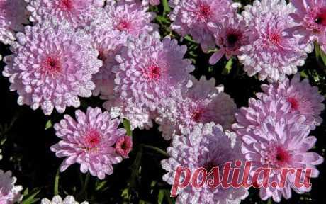 Как вырастить хризантему из букета? Пошаговая инструкция