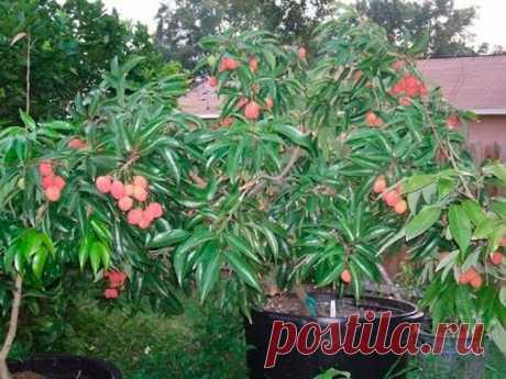 Плодовое дерево личи