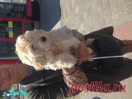 Продам щенка полубалонка купить в Минске на сайте объявлений