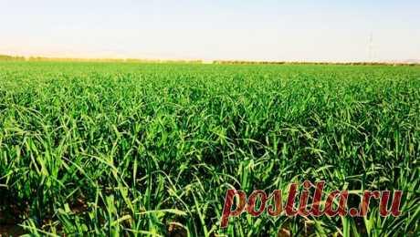 Промышленное выращивание чеснока | Бизнес производство
