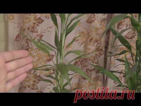 Dratsena Sandera o babmuk de la felicidad. La partida, la reproducción, los saboteadores. Mi experiencia - YouTube