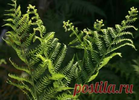 Защита растений при помощи настоев крапивы, хвоща и папоротника