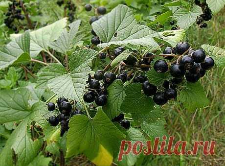 Боремся с болезнями и вредителями смородины без химии | Азбука садовода