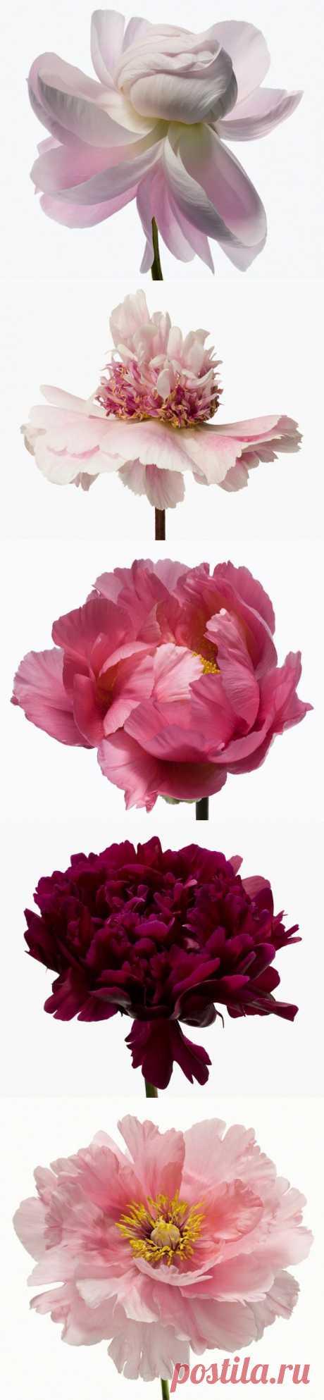 Цветущие цветы Пола Ланге (Paul Lange)