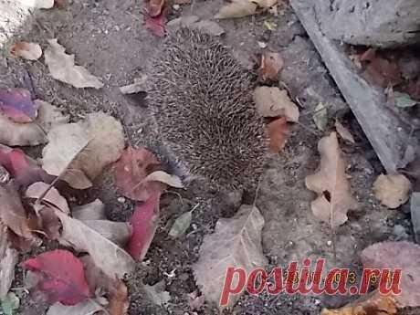 Ёжик выбрался из укромного местечка и отправился на прогулку по саду.