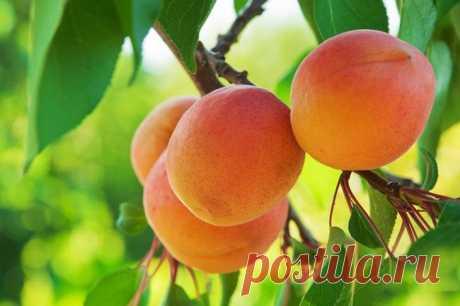 Почему не плодоносит абрикос? Абрикос считается самым неприхотливым плодовым деревом, способным расти на любом садовом участке и быть его украшением, особенно в период цветения. В такой долгожданный летний сезон абрикос дарит свои...