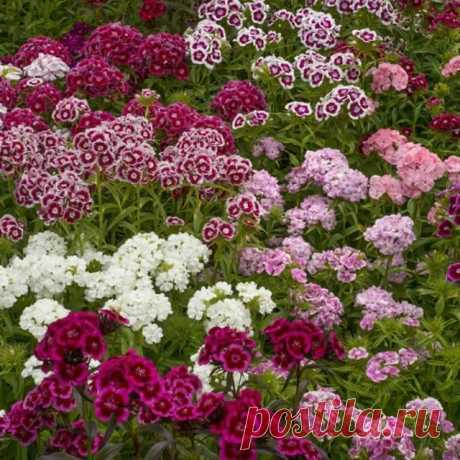 Гвоздика турецкая Гвоздика бородатая, или турецкая, родом из Южной Европы — многолетнее растение, но обычно культивируется как двухлетник. Образует куст до 60 см высотой. Цветки мелкие, собраны в соцветия-щитки до 12 см в диаметре, белой, кремовой, розовой, красной, темно-красной, лиловой и других окрасок, нередко пестрые, с глазком или каемкой, бархатистые, ароматные. Используется этот вид гвоздик для клумб, рабаток, групповых посадок, иногда для срезки.  Хорошо растет на...