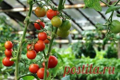 Лучшие сорта томатов для теплиц | Блоги о даче, рецептах, рыбалке