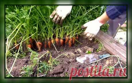 Как я получаю отменный урожай моркови. Все очень просто. Урожая будет много! | 4 Сезона огородника | Яндекс Дзен