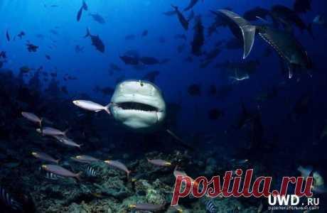 Все акулы этой группы- (тупорылая), всеядны и наряду с живой добычей (прибрежные рыбы и крабы) пожирают любые отбросы. Тупорылая акула и ее родичи, несомненно, опасны для людей. Особенно много нападений отмечено в водах Южной Африки. В этом районе в течение последних 50 лет было атаковано около 60 человек, купавшихся у берегов, и почти половина инцидентов привела к смертельному исходу.