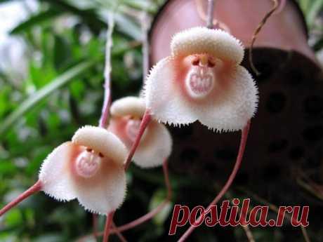 «Орхидея дракула - обезьяна» — карточка пользователя nastya.shtab в Яндекс.Коллекциях