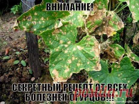 СЕКРЕТНЫЙ РЕЦЕПТ ОТ ВСЕХ БОЛЕЗНЕЙ ОГУРЦОВ!!!.