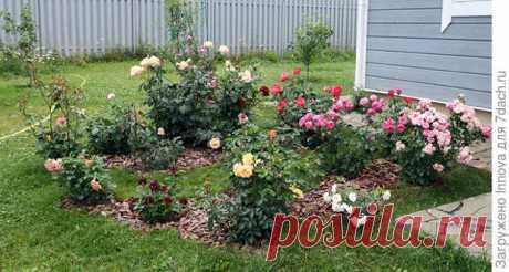 Понятная и несложная схема подкормки роз для начинающих розоводов Первое цветение в июлеЯ начинающий розовод. Розы у меня только второй год.... Читай дальше на сайте. Жми подробнее ➡