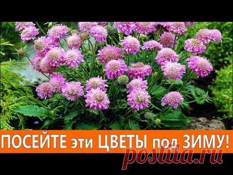 ПОСЕЙТЕ эти НЕПРИХОТЛИВЫЕ ЦВЕТЫ под ЗИМУ! Они порадуют красивым цветением в саду.