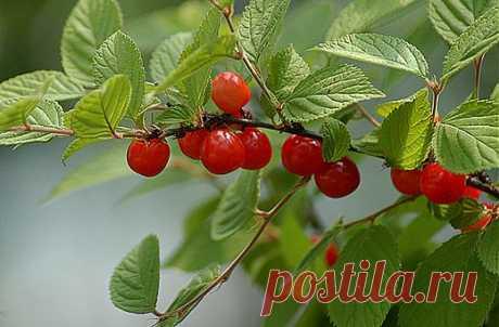 Секреты обильного плодоношения войлочной вишни | Наш уютный дом