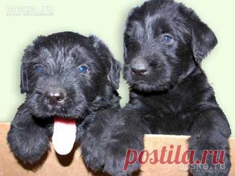 La raza de los perros rizenshnautser la foto: 19 tys de las imágenes es encontrado en el Yandex. Las estampas