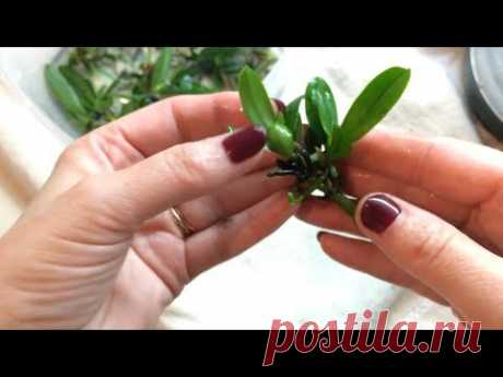 Сеянцы орхидеи из фласки. Размытие фласки и посадка сеянцев орхидеи в мох.