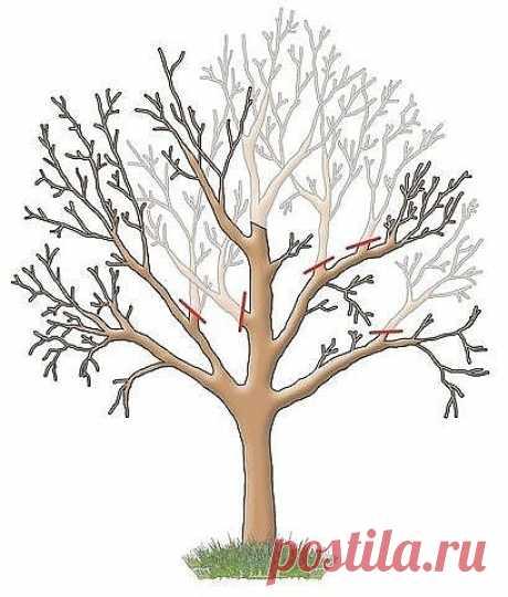 ОБРЕЗКА САДОВЫХ ДЕРЕВЬЕВ  Яблони, груши и прочие плодовые культуры дают обильный урожай пока молодые. С возрастом их плоды заметно мельчают, а сами растения чаще болеют. Но отчаиваться не стоит – вернуть деревьям былую силу можно с помощью обрезки. И делать ее лучше всего в феврале. Омолаживающая обрезка убивает сразу трех зайцев: плоды становятся крупнее, урожайность увеличивается на 20–60%, повышается морозостойкость деревьев и к тому же их проще обрабатывать от болезней...