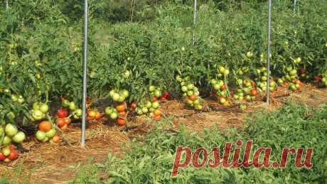 Выращивание помидоров в открытом грунте в Подмосковье Выращивание помидоров в открытом грунте в Подмосковье. На что ориентироваться при выборе сорта, можно ли обойтись без рассады, уход за томатами.