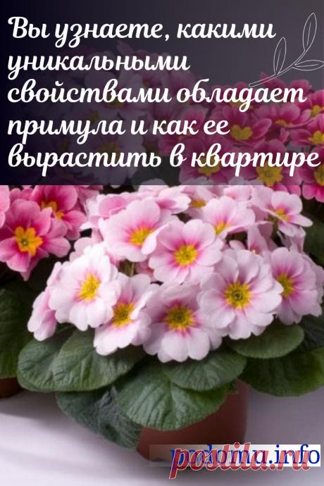 Особенности ухода за комнатной примулой в домашних условиях, пересадка, деление и выращивание #комнатныерастения #комнатныецветы #цветы #примулы#люблюцветы #цветыдома #цветокпримула #цветоводство#цветывгоршках #домашниецветы #цветочки #красота #красивыецветы #даритецветы #длядуши #примула#цвететпримула#домоводство