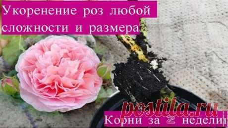 Самый простой способ укоренения роз. 100% приживаемость