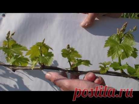 Виноградник Обломка побегов