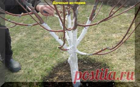 Очень простой рецепт побелки деревьев осенью