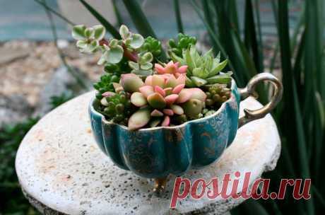 Идеи композиций из суккулентов в чашках — DIYIdeas