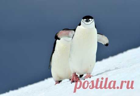 «Не подглядывай!» Двух антарктических пингвинов снял Алексей Романов (nat-geo.ru/photo/user/121961).